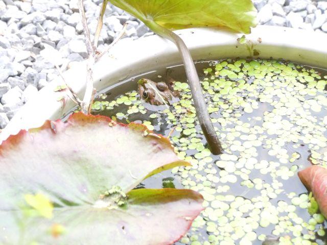 Frog_7278_1.jpg
