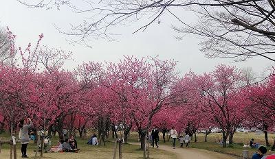 ピンク並木