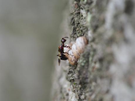 シロオビタマゴバチか産卵3