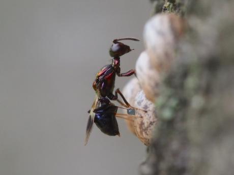 シロオビタマゴバチか産卵4