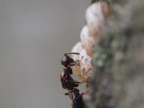 シロオビタマゴバチか産卵5