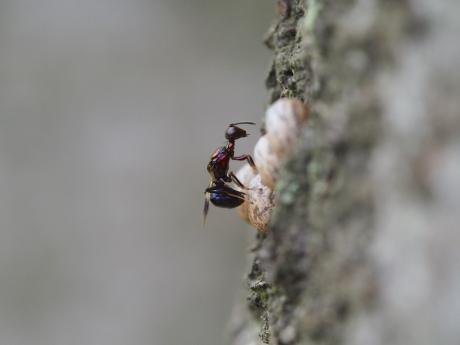 シロオビタマゴバチか産卵6