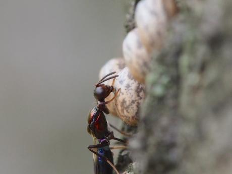 シロオビタマゴバチか産卵7