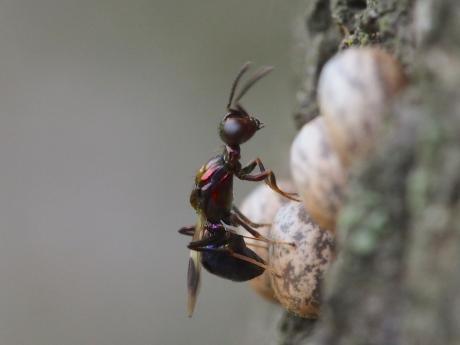 シロオビタマゴバチか産卵8