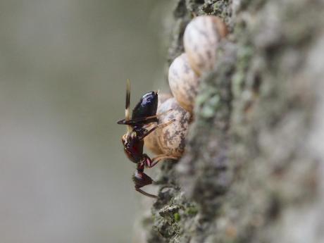 シロオビタマゴバチか産卵10