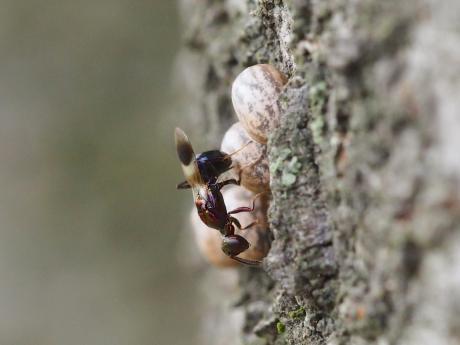 シロオビタマゴバチか産卵11