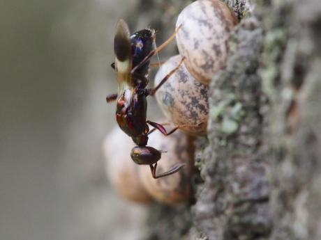 シロオビタマゴバチ13
