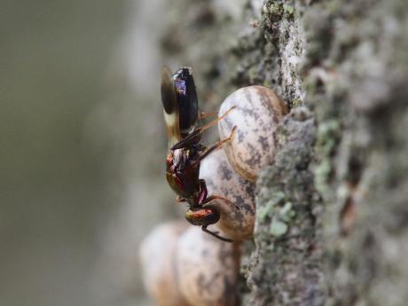 シロオビタマゴバチ14