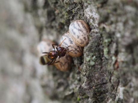 シロオビタマゴバチ16