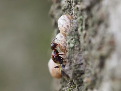 シロオビタマゴバチ18
