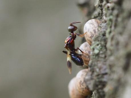 シロオビタマゴバチ19