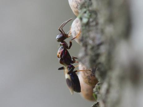 シロオビタマゴバチ20