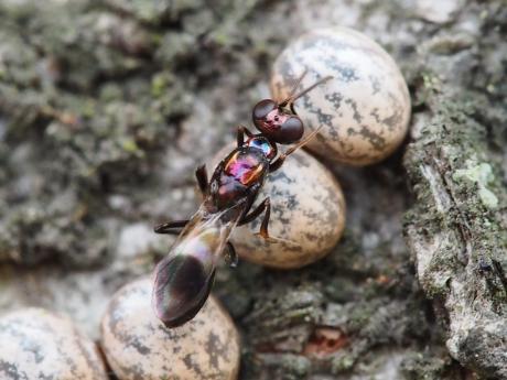 シロオビタマゴバチ22