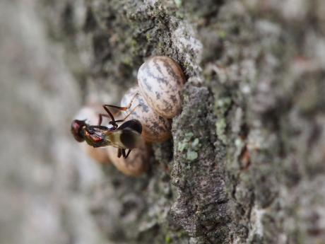 シロオビタマゴバチ23