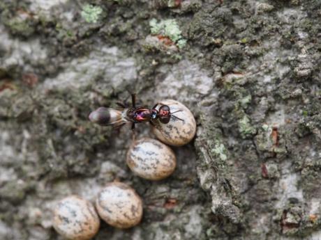 シロオビタマゴバチか産卵