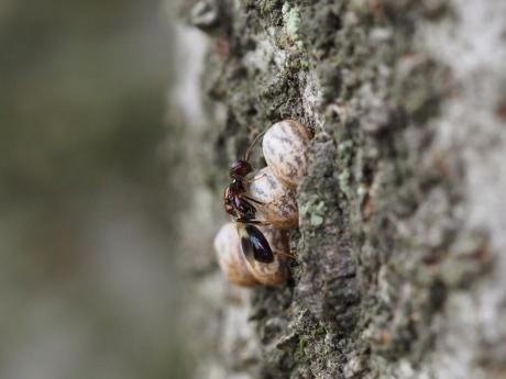 シロオビタマゴバチか産卵2