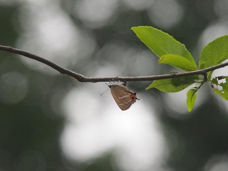 ミドリシジミ産卵