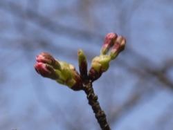 20150322_桜