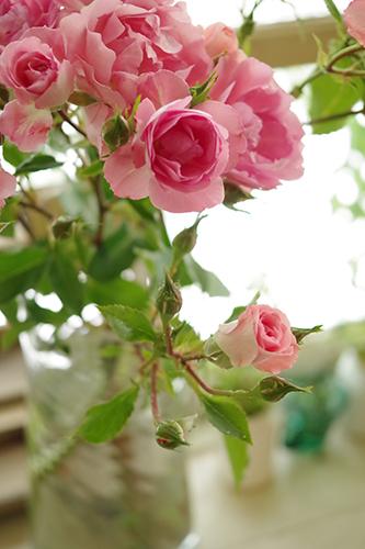 誕生花のピンクローズ
