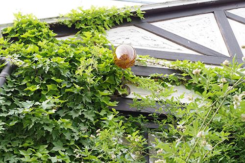 オレガノ2種とゴンフォスティグマ