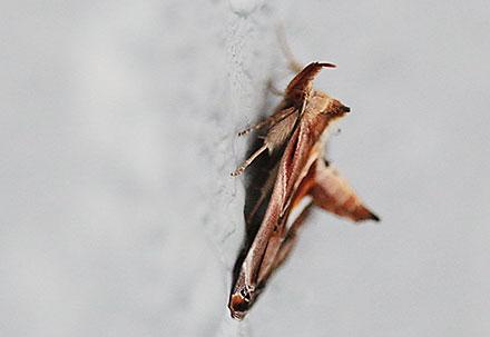ニセミカドアツバ