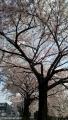 sakura_0402.jpg