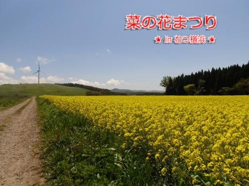 2015菜の花①