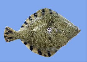 マツカワ天然魚