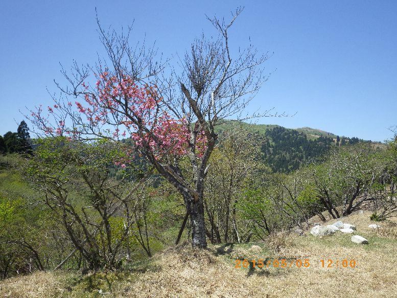 八重桜越しに武奈ヶ岳