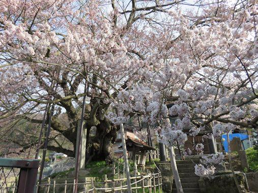 長野市 芋井地区 神代桜
