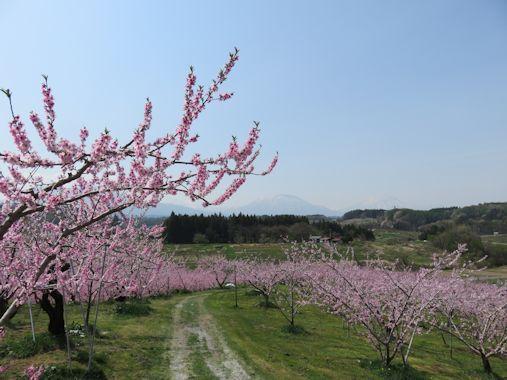 桃の花街道