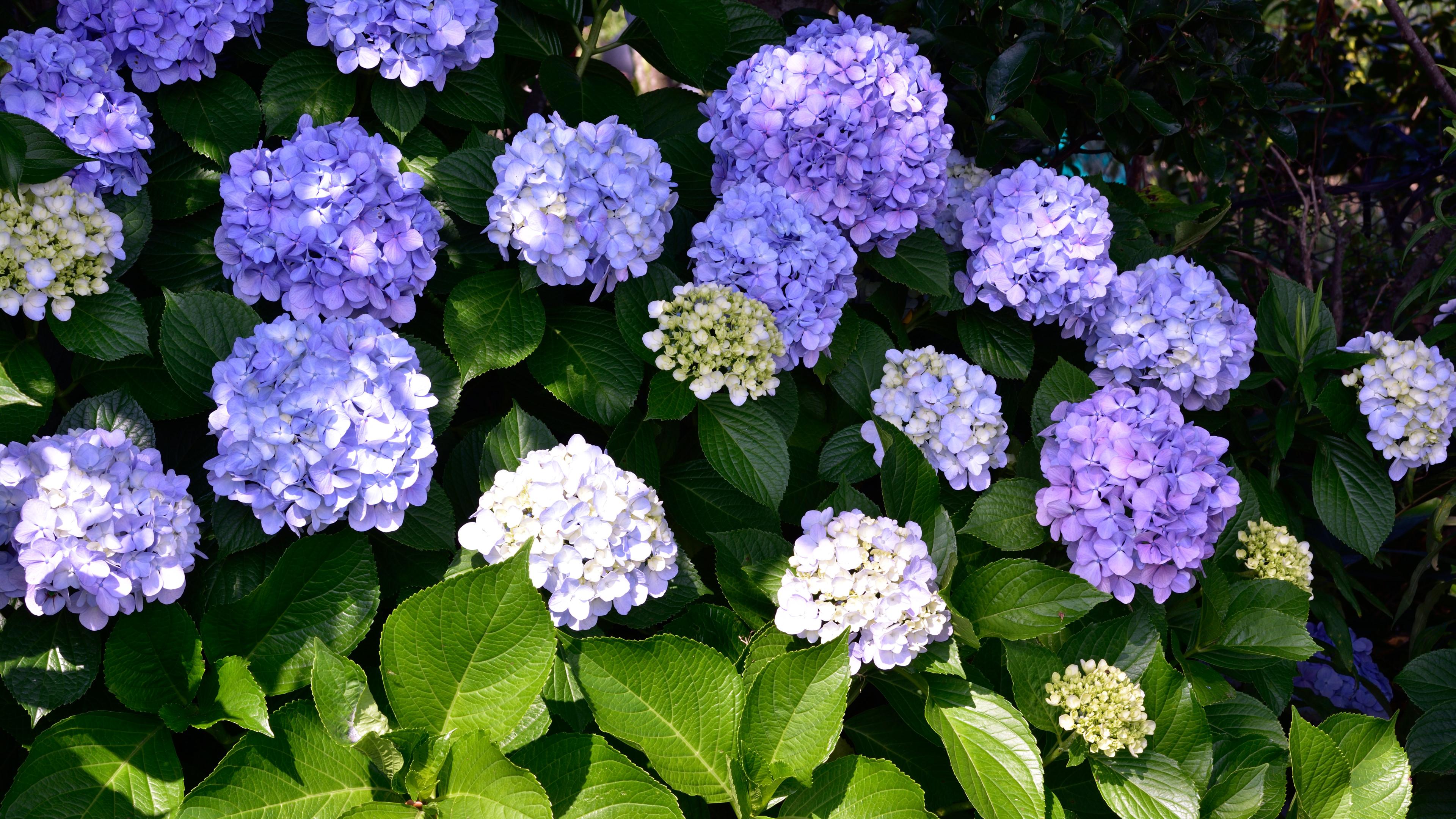 晴天で映えない紫陽花