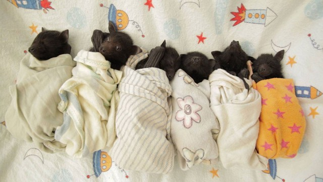adorable-orphaned-baby-bats-australian-bat-clinic-14-e1428559033708.jpg