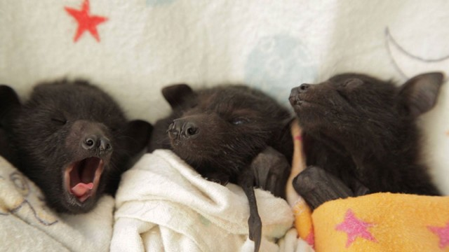 adorable-orphaned-baby-bats-australian-bat-clinic-15-e1428559024454.jpg