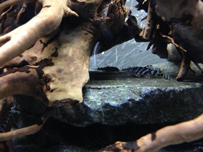 L333special 稚魚