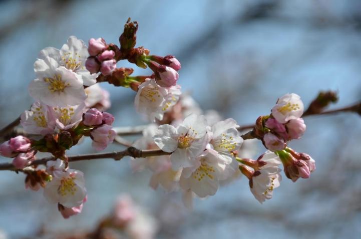 豊平公園の桜