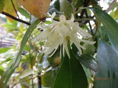 しきびの花