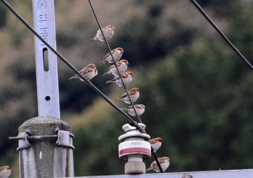ニュウナイスズメ 1 4290