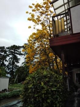 イッペの木