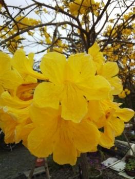 イッペの花