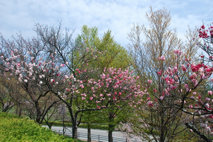 フルーツ公園の花桃6