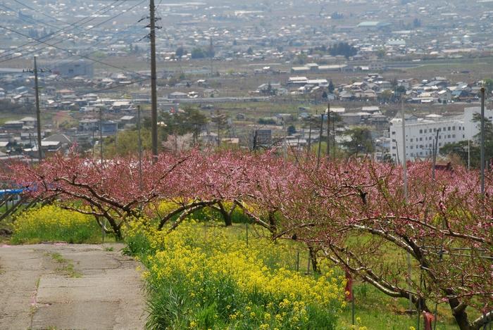 甲府盆地と桃の花と菜の花19