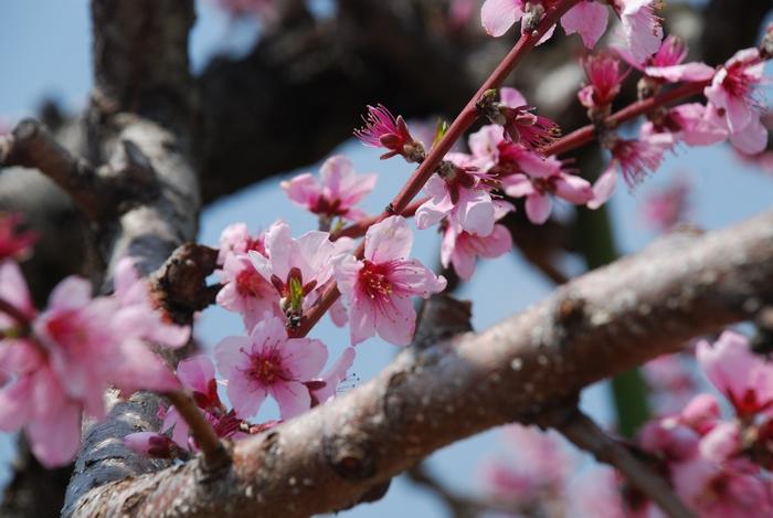名残の桃の花14