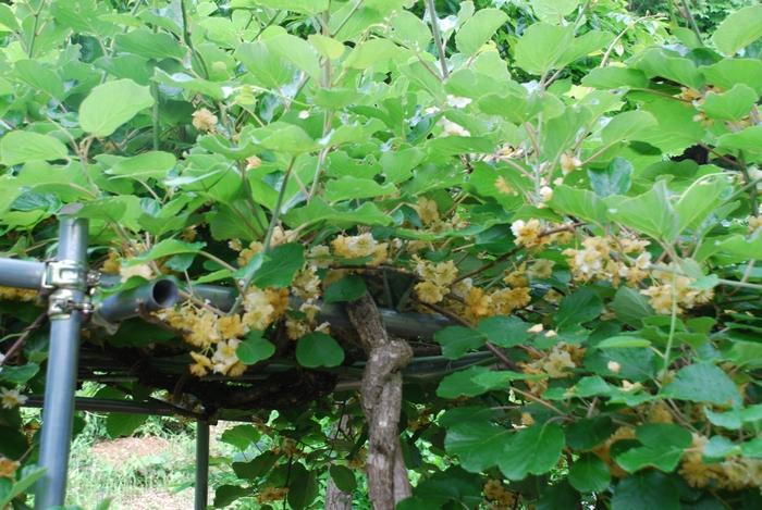 キウイフルーツの花1