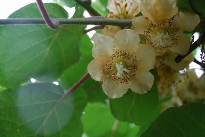 キウイフルーツの花3
