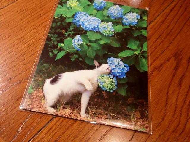 20150529紫陽花猫ポスカ