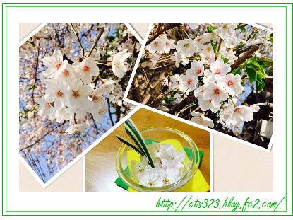 2015桜png