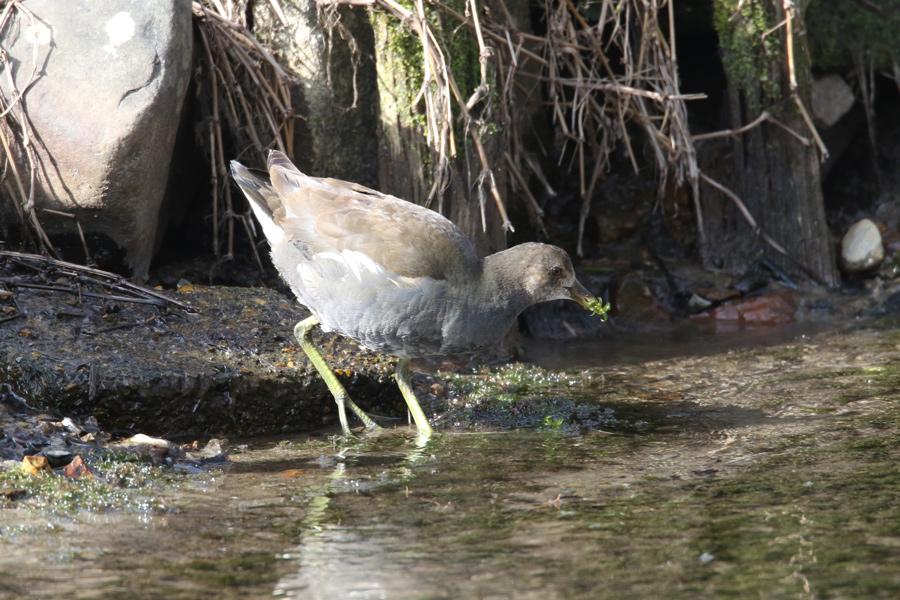 2015-2-28バンの幼鳥T84A0354