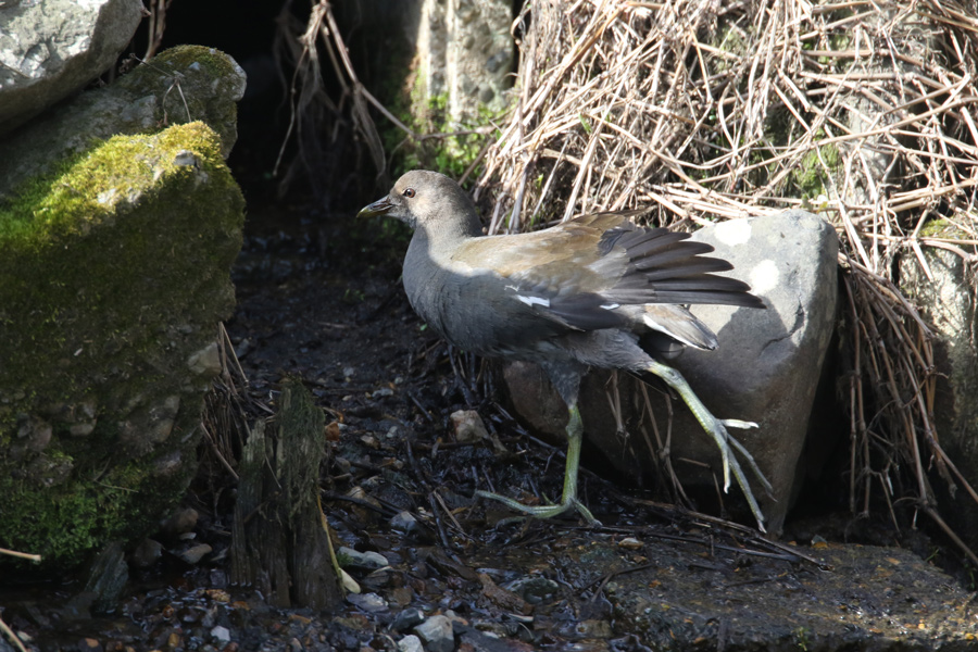 2015-2-28バンの幼鳥T84A0557
