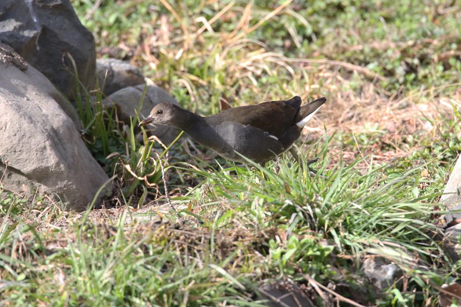 2015-2-28バンの幼鳥T84A0581
